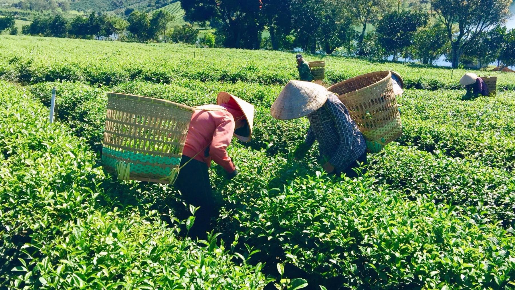 Nông dân hái chè tại đồi chè Tâm Châu - Đamb'ri